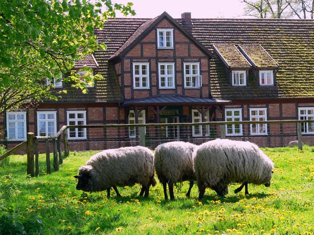 Gutshof-Woldzegarten-Schafe