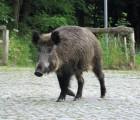 Wildschwein-klein-Derk-Ehlert