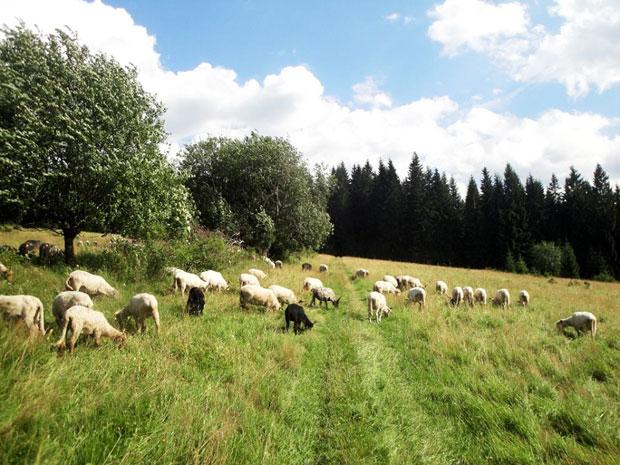 Schafe-tatrawandern
