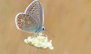 butterfly-common-blue-restharrow-polyommatus-icarus-158536